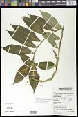 view Chamaecostus lanceolatus subsp. pulchriflorus (Ducke) C.D. Specht & D.W. Stev. digital asset number 1