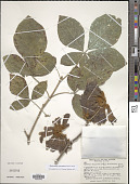 view Handroanthus chrysanthus (Jacq.) S.O. Grose digital asset number 1