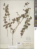 view Lantana reticulata Pers. digital asset number 1