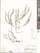 view Verbena gracilis Desf. digital asset number 1
