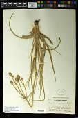 view Eryngium sparganophyllum Hemsl. in Hook. f. digital asset number 1