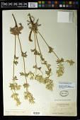view Eryngium heterophyllum Engelm. digital asset number 1