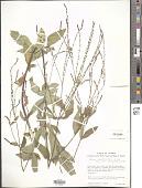 view Verbena longifolia digital asset number 1