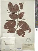 view Coccoloba diversifolia Jacq. digital asset number 1