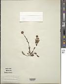 view Globularia vulgaris L. digital asset number 1