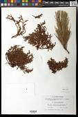 view Pinus strobiformis Engelm. digital asset number 1
