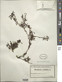 view Globularia cordifolia L. digital asset number 1
