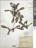 view Globularia nudicaulis L. digital asset number 1