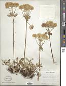 view Eriogonum umbellatum var. subalpinum M.E. Jones digital asset number 1