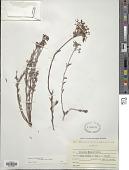 view Eriogonum microthecum var. foliosum (Torr. & A. Gray) Reveal digital asset number 1
