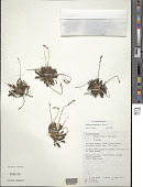 view Plantago pachyphylla A. Gray digital asset number 1