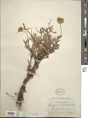 view Eriogonum douglasii var. douglasii digital asset number 1
