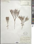 view Eriogonum nidularium Coville digital asset number 1