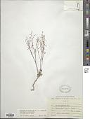 view Eriogonum cernuum Nutt. digital asset number 1