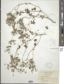 view Geranium sibiricum digital asset number 1