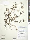 view Geranium meridense Pittier digital asset number 1
