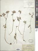 view Geranium persicum Schönb.-Tem. digital asset number 1