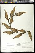 view Heliconia longa (R.F. Griggs) H.J.P. Winkl. digital asset number 1