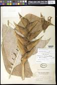 view Heliconia caribaea Lam. digital asset number 1
