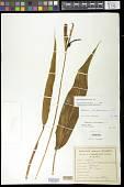 view Heliconia psittacorum L. f. digital asset number 1