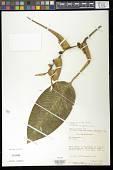 view Heliconia latispatha Benth. digital asset number 1