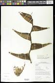 view Heliconia bihai (L.) L. digital asset number 1