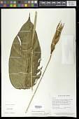 view Heliconia densiflora B. Verl. digital asset number 1