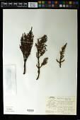 view Arceuthobium vaginatum (H.B.K.) Eichler digital asset number 1