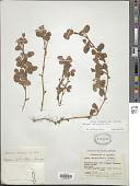 view Oxalis lotoides Kunth digital asset number 1