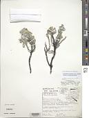 view Geranium cuneatum subsp. tridens (Hillebr.) Carlquist & Bissing digital asset number 1