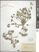 view Geranium molle L. digital asset number 1