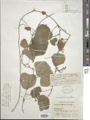 view Tropaeolum crenatum H. Karst. digital asset number 1