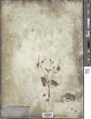 view Erodium macrophyllum digital asset number 1