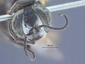 view Tachysphex chiastotrichus digital asset number 1