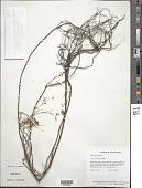 view Oxalis frutescens L. digital asset number 1