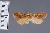 view Cryptolechia miniata Dognin, 1905 digital asset number 1