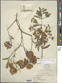view Callaeum macropterum (DC.) D.M. Johnson digital asset number 1