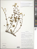view Tristellateia madagascariensis Poir. digital asset number 1