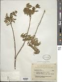 view Trichilia hirta L. digital asset number 1