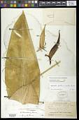 view Heliconia spathocircinata Aristeg. digital asset number 1