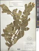view Trichilia havanensis Jacq. digital asset number 1