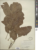 view Trichilia heudelotii Planch. ex Oliv. digital asset number 1