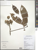 view Trichilia monadelpha (Thonn.) De Wild. digital asset number 1