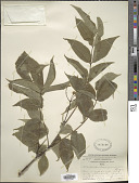view Phellodendron amurense Rupr. digital asset number 1