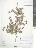 view Erythroxylum pallidum Rose digital asset number 1