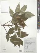 view Tetradium glabrifolium (Champ. ex Benth.) T.G. Hartley digital asset number 1