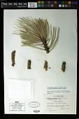 view Arceuthobium vaginatum subsp. cryptopodum (Engelm.) Hawksw. & Wiens digital asset number 1