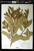 view Notholithocarpus densiflorus (Hook. & Arn.) P. S. Manos et al. digital asset number 1