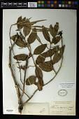 view Passovia pyrifolia (Kunth) Tiegh. digital asset number 1