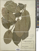 view Turraeanthus sp. digital asset number 1